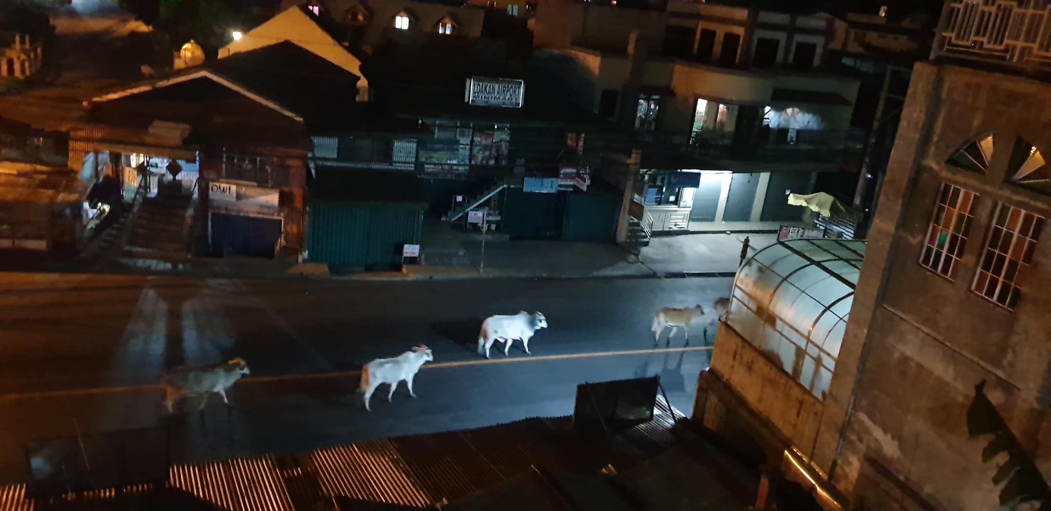 cows roaming Baguio City